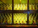 There were a total of 1000 golden Buddhas in this room